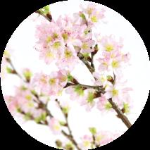 1週目 啓翁桜